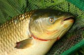 foto of fighter-fish  - The White Amur or Grass Carp  - JPG