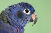 Blue Headed Pionus