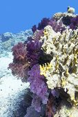 Colorful Coral Reef On The Bottom Of Tropical Sea, Soft Coral Violet Dendronephthya, Underwater Land poster
