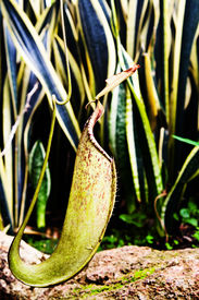 pic of nepenthes-mirabilis  - The Tropical pitcher plant   - JPG