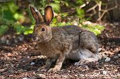 Snowshoe Hare On The Forest Floor