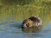 Nutria en Washington occidental