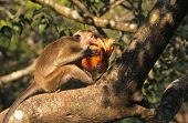 Wild macaque biting into a nut