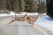 image of mule deer  - Deer jumping across the road near Itasca National Park, Minnesota, USA