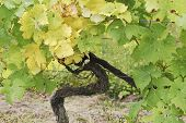 stock photo of dork  - Grape vine for white wine in vineyard at Dorking Surrey England