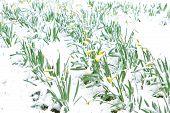 Постер, плакат: Нарциссы в весенний снег