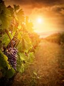 foto of cluster  - Nature background with Vineyard in autumn harvest - JPG