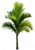 Green Macarthur Palm Tree