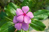 The beauty Vinca flower
