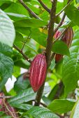 Cocoa tree with pods Bali island Indonesia