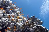 colorful coral reef with hard corals and exotic fishes anthias at the bootom of tropical sea
