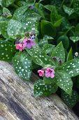 Pulmonaria in garden.