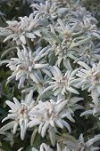 picture of edelweiss  - Bunch of Blooming Edelweiss Flowers in Gstaad - JPG