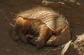 stock photo of armadillo  - Sleeping armadillo  - JPG