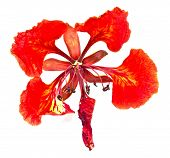 Close-up Shot Of A Delonix Regia On White Background