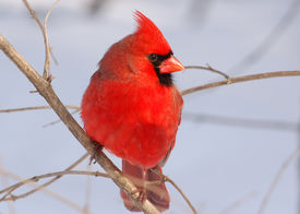 foto of cardinal-bird  - Photograph of a brilliant red male Northern Cardinal in a winter garden - JPG