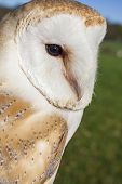 Common Barn Owl, Tyto alba, close up portrait
