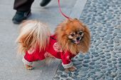 picture of pom poms  - Small Spitz type Pomeranian dog also called Pom or Pom Pom - JPG