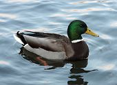 Mallard Duck on the water . (Anas platyrhynchos) relaxing in pond