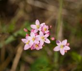 Common Centaury Wild Flower