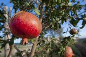 Pomegranate fruit in sicily