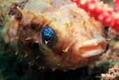 Rounded Porcupinefish