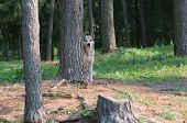 Feral Dog Hiding Behind A Tree