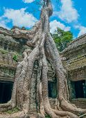 Big Banyan Tree Growing Over Ta Prohm Temple