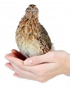 stock photo of quail  - Young quail in hands isolated on white - JPG
