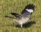 image of mockingbird  - This mockingbird was hunting for food - JPG