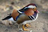 Mandarin Duck, Aix Galericulata