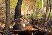 stock photo of buck  - A Whitetail Deer Buck in a woods - JPG