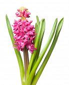 hyacinth isolated on white