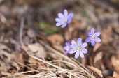 Purplish Hepatica Closeup