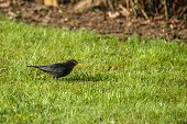 Blackbird Looking For Food On The Lawn