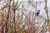 Bullfinch Sitting On A Twig In A Bush