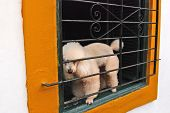 A small white dog in the window