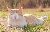 Yellow and white tomcat relaxing in spring grass back lit by late afternoon sun