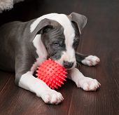 stock photo of pitbull  - White and Grey Pitbull laying down with red ball - JPG