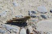 pic of locusts  - locust in a meadow near la spezia - JPG