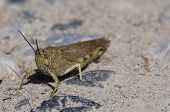 foto of locusts  - locust in a meadow near la spezia - JPG