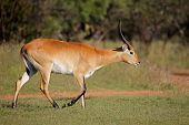 Male red lechwe antelope (Kobus leche) in natural environment, southern Africa