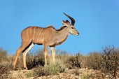 Young male kudu antelope (Tragelaphus strepsiceros) against a blue sky, Kalahari desert, South Afric