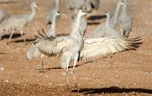 Sandhill Crane Dancing, Arizona