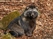 image of raccoon  - Raccoon dog in the sun resting in its habitat - JPG