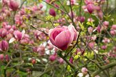 Magnolia Blossom