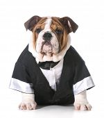 dog wearing tuxedo - english bulldog 3 months old