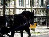 Black horse pulling cart through Quebec City