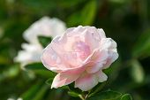 Beautiful Heritage Rosa Species With Scented Flowers Blooming In Spring And Summer Being Insect Poll