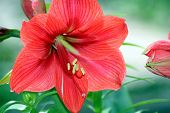 stock photo of six-petaled  - large six petals red flower at Botanical Gardens - JPG